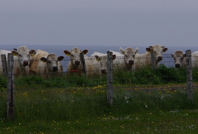 062213 13 Curious Cows Westray