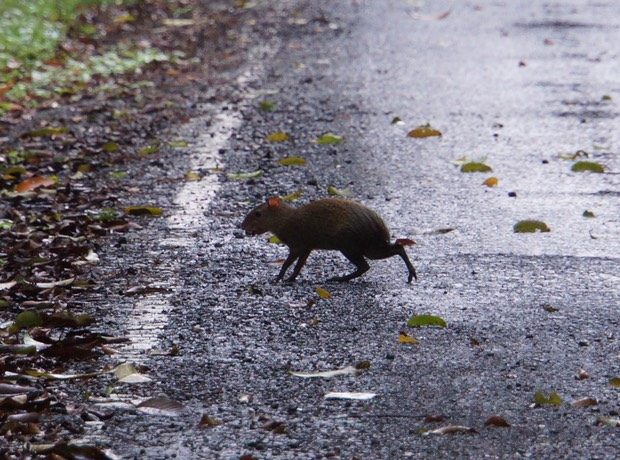 140210 3 Walking Fort Sherman - A Central American Agouti
