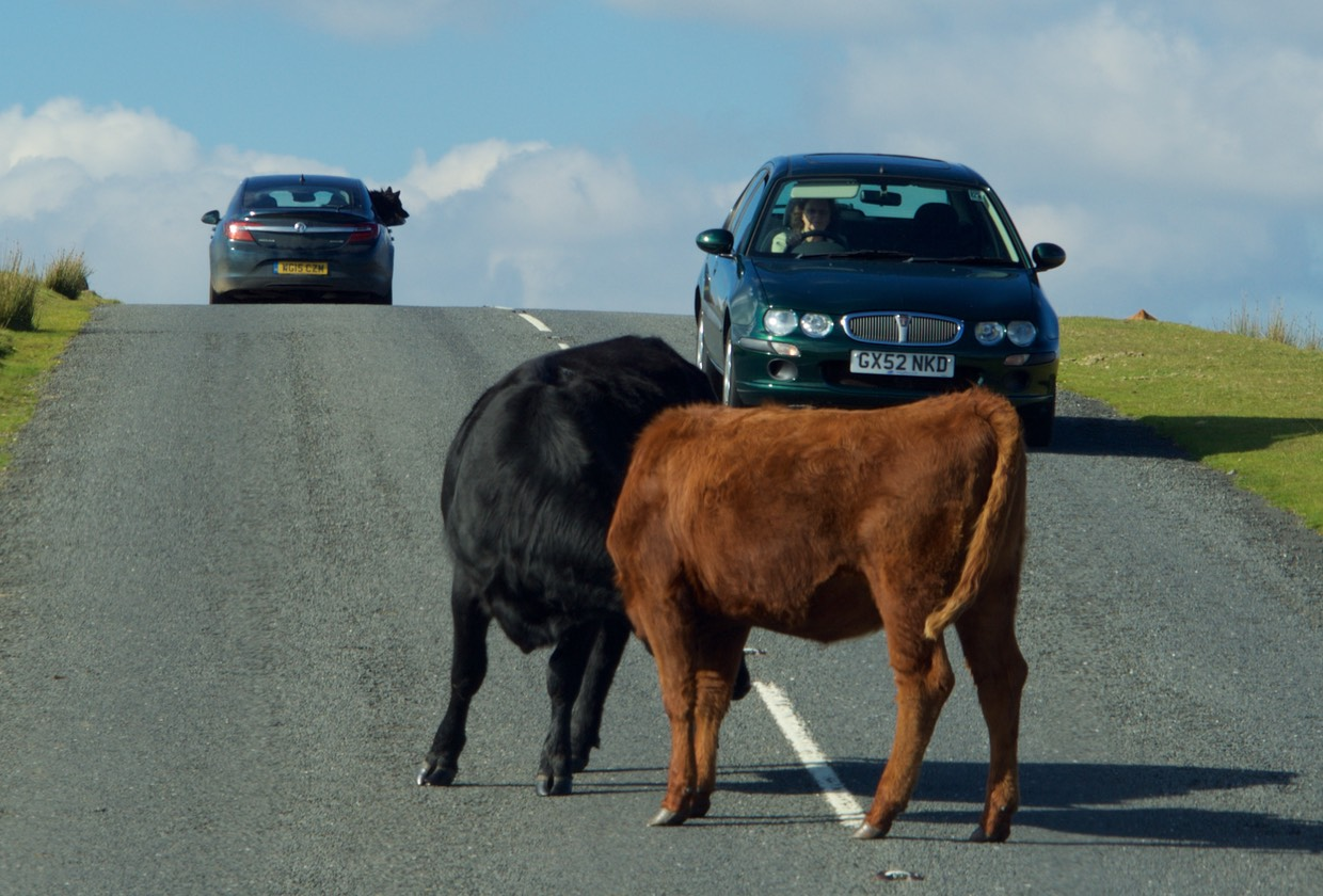 151013 Drive day to Dartmoor National Park Dodging Cows